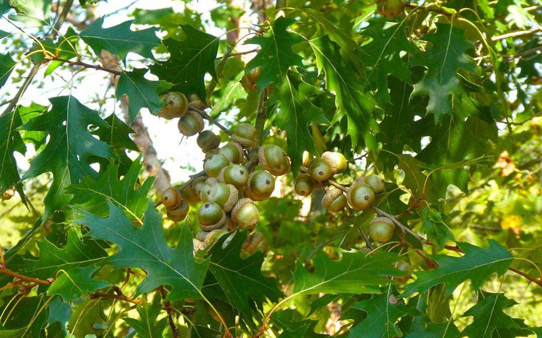 Oak (Xiang Mu)