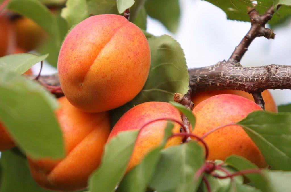 Apricot/Apricot Kernel (Xing/Xing Ren)