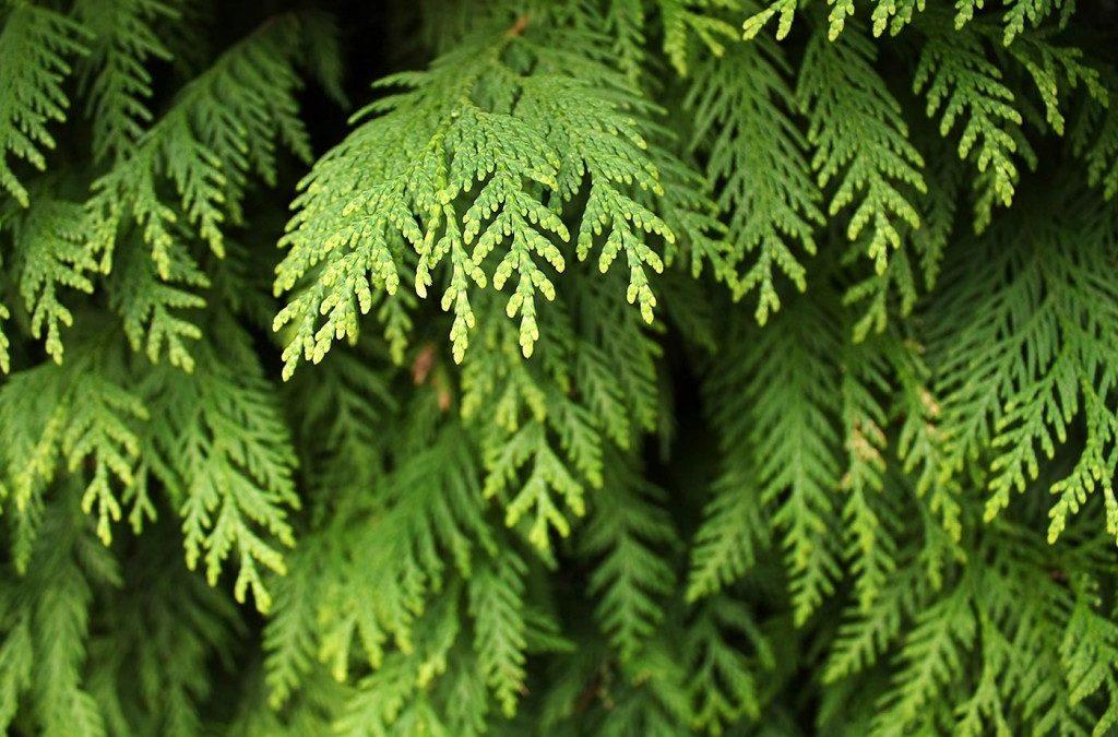Cedar (Xue Song)