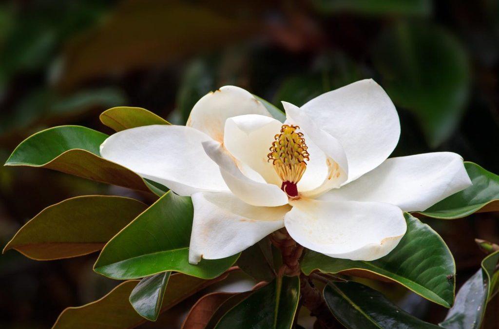 Magnolia Flower (Hou Po Hua, Xin Yi)