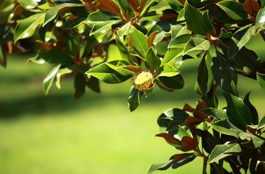 Magnolia Tree (Huo Po)