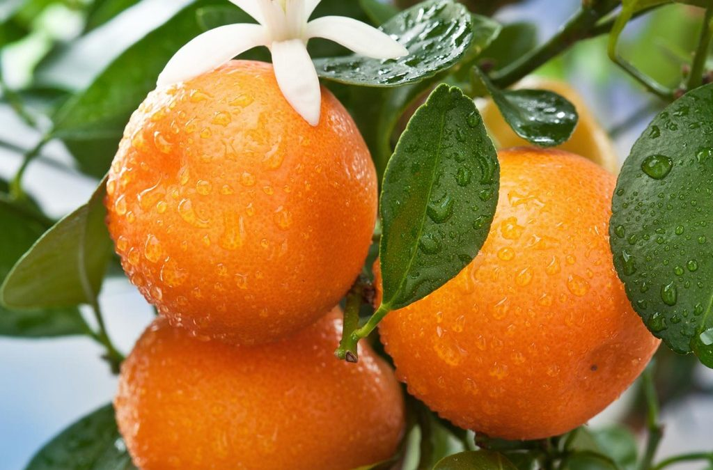 Orange/Orange Peel (Chen Pi, Qing Pi, Zhi Shi)